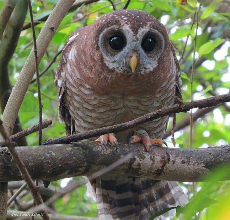 Wood Owl