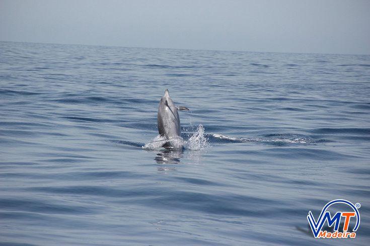 Golfinho Roaz, Bottlenose dolphin, Madeira Island, VMT Madeira Catamaran Trips