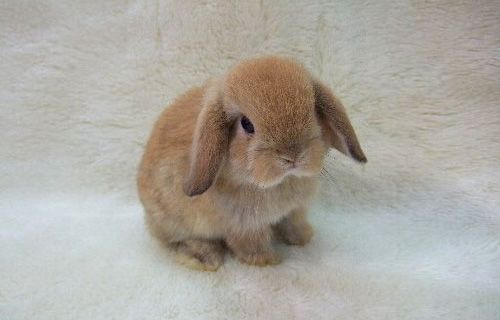 12 Holland Lop Bunnies for Sale Nashville, TN | Rabbits for Sale ...