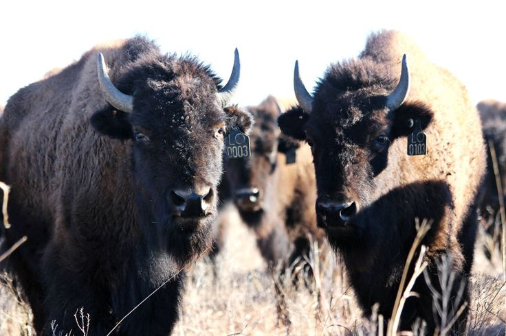 Osage Nation Wins Bid to Purchase Ted Turner's Buffalo Ranch