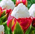 Beautiful Cabbage Rare Tulip Seeds 100 Seeds