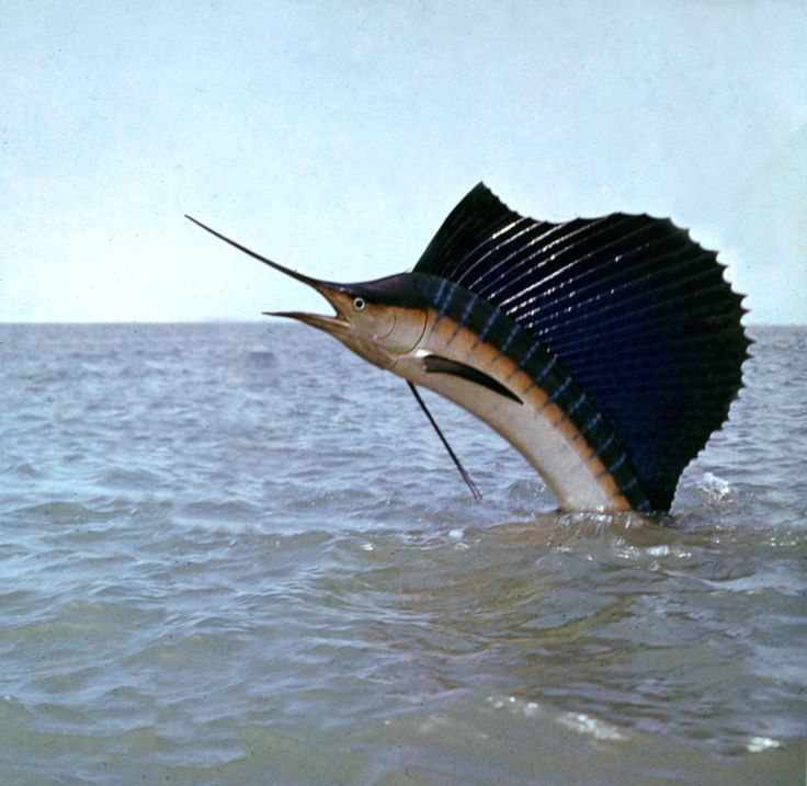Sailfish - A magnificent creature that can reach 110 km per hour (68mph) under water, making it the fastest waterdweller alive.