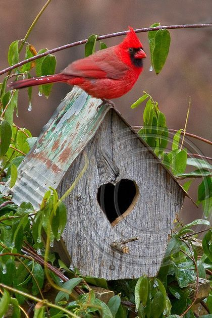 Cardinal Valentine -male cardinal sitting on top of a birdhouse with a heart-shaped door. Beautiful colours!
