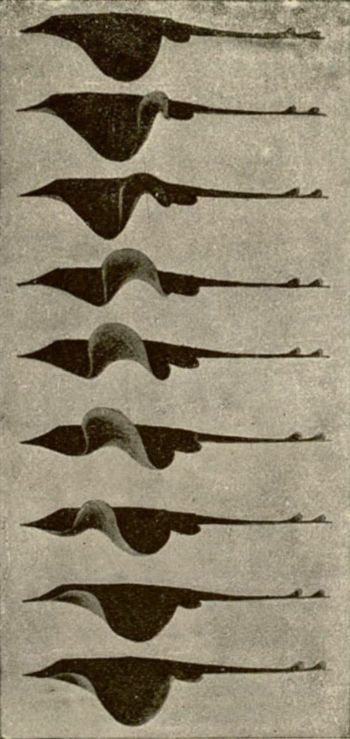 Undulations of the fins of a skate viewed from the side, Étienne-Jules Marey, 1894