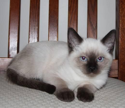 Beautiful Ragamese Rag Doll Siamese Mix Kittens Ragdoll Cat Kittens Striped Cat
