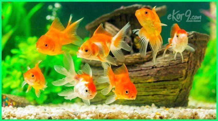 Sejarah Ikan Hias Koki Sejarah Ikan Mas Koki Di Indonesia