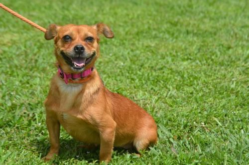 Laura is an adoptable Dachshund searching for a forever family near Doylestown, PA. Use Petfinder to find adoptable pets in your area.