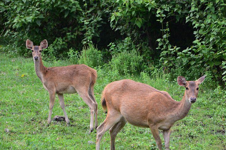 Meet the Menjangan deer