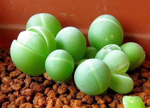 Gibbaeum heathii, they are so cute!!!!!!