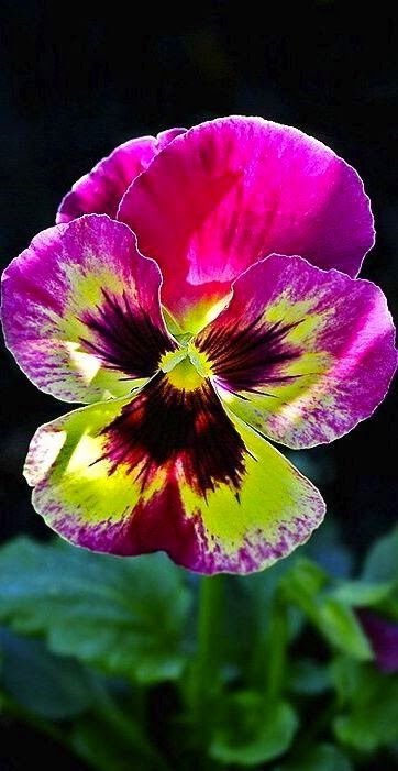 Pure Nature Pansy Flower - beautiful colours ;0)