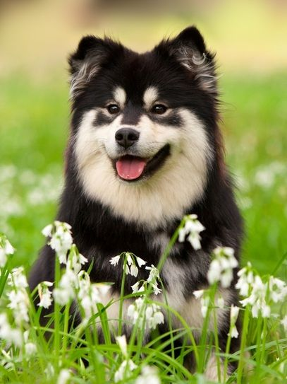 17 best images about finse lappenhond    suomenlapinkoira on pinterest