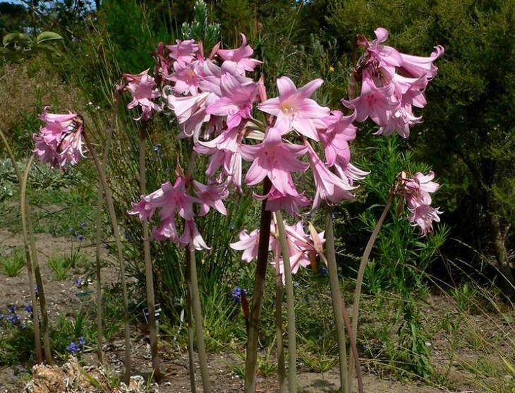 ядовитое комнатное растение амариллис беладонна