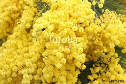 """Scarica l'immagine Royalty Free  """"Mimosa"""" creata da Rossella al miglior prezzo su Fotolia . Sfoglia la nostra banca di immagini online per trovare la foto perfetta per i tuoi progetti di marketing a prezzi imbattibili!"""