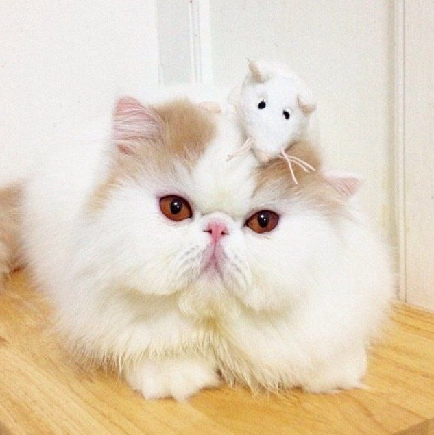 Best Persian Kittens Images On Pinterest Persian Kittens - Meet the ridiculously fluffy kitty thats more cloud than cat
