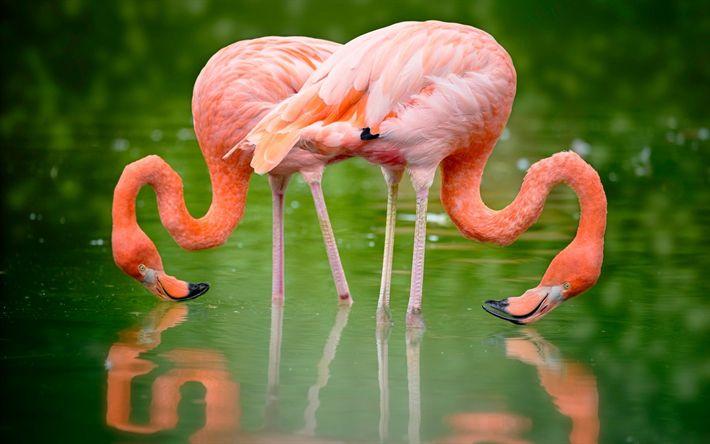 Descargar fondos de pantalla flamencos rosados, lago, hermosas aves, una pareja de flamencos
