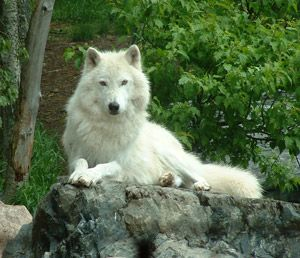 Wolf Wolf Wolf Wolf: Wild Animal, Arctic Wolf, Stockings Photos, Hd Photos, White Wolf, Wolf Pack, White Wolves, Whitewolf, Free Photos