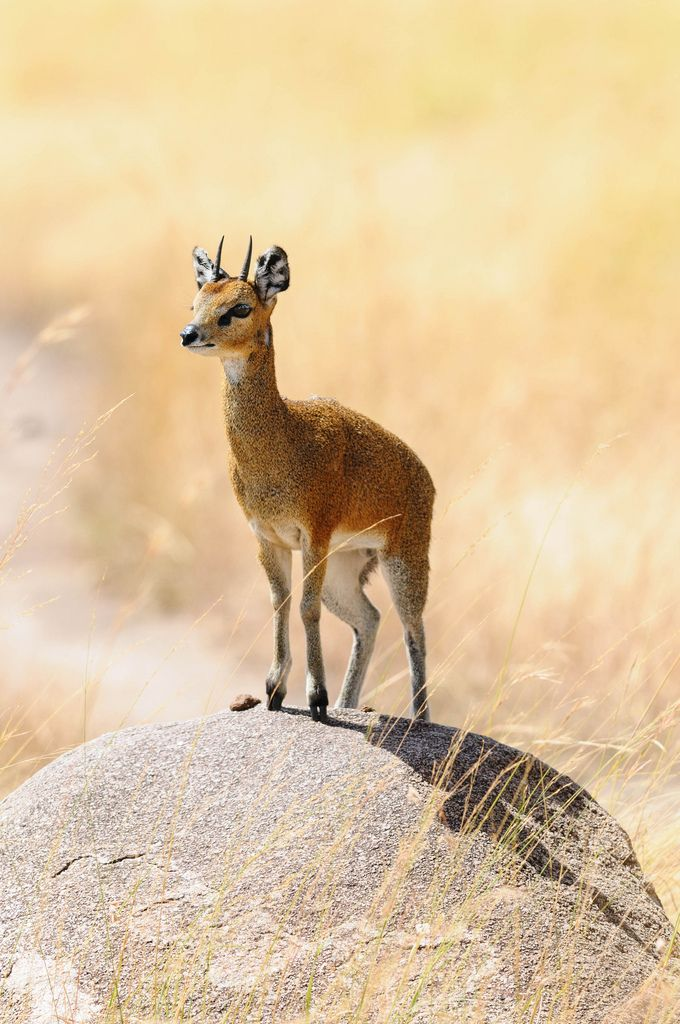 "Klipspringer: ""On The Rock.""   (Klipspringers get up on the rocks, on the top of their hooves, to look around.) Photo By: Scott8586. http://flic.kr/p/rPKCsD."