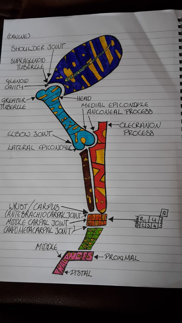 "astressedvetstudent: "" I drew a quick sketch of the bones of the forelimb """