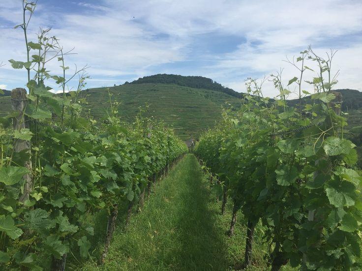 Weinberge Franz Keller - Kaiserstuhl - Weingüter Kaiserstuhl - Weinanbau Deutschland - Qualitätsweine Deutschland - Freiburg