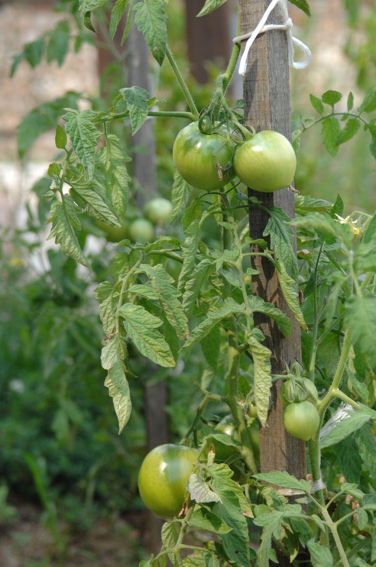 Organic tomato cultivations