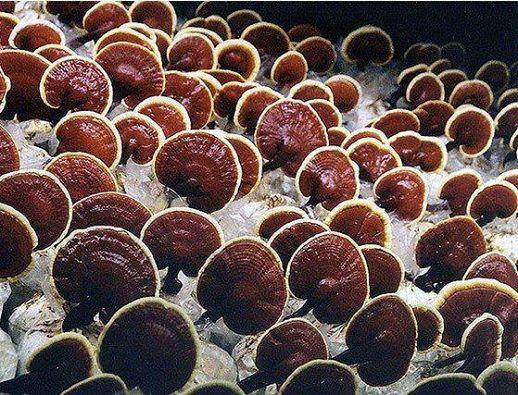 Gyógyulj gombákkal! : Valóban igaz, hogy a ganoderma a modern betegségek...
