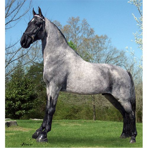 photo of blue roan horse - tennessee walking horse stallion  buyhorses.com