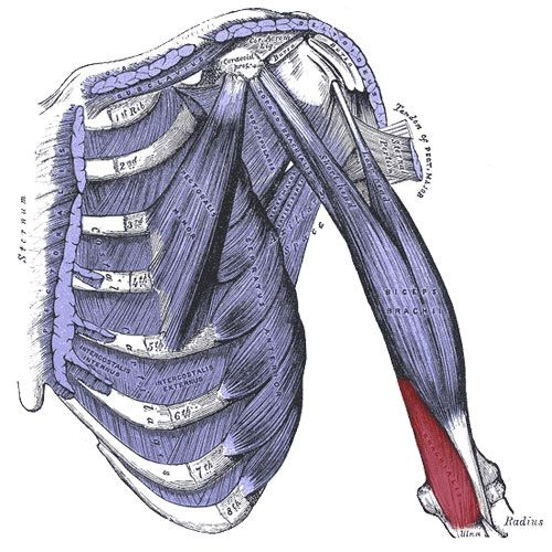 Brachialis Muscle: Arm, Elbow, Thumb Pain - http://thewellnessdigest.com/brachialis-muscle-arm-elbow-thumb-pain/