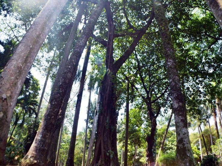Pohon-pohon besar menjulang tinggi di area Taman Langsat