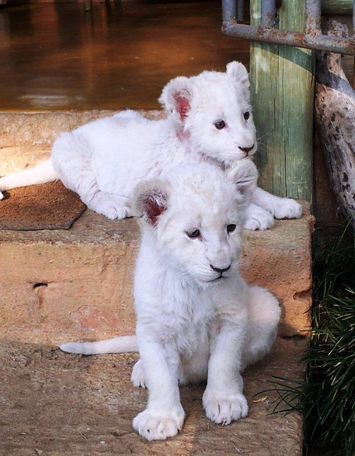 13 best images about Baby Lions on Pinterest | Baby lions ... - photo#34