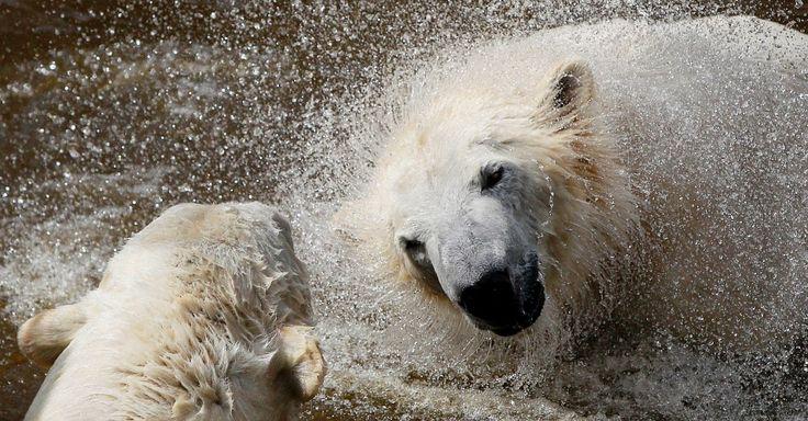 Ursos polares brincam na água em dia ensolarado de primavera no zoológico em Varsóvia, na Polônia