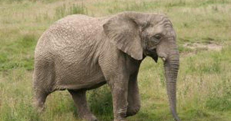 Cómo hacer un elefante de papel con platos desechables. Las artesanías son una gran adición a cualquier lección de la escuela. La clase de ciencias se presta para muchos experimentos y manualidades, especialmente las clases de ciencias de la vida. Después de que tu estudiante termine el estudio de la vida animal puedes darle algo de tiempo para que pueda crear una cara de elefante con un plato de ...