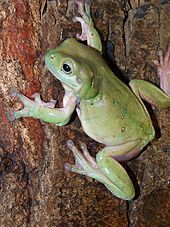 Australian green tree frog - Wikipedia, the free encyclopedia