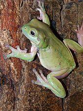 Australian green tree frog - Wikipedia, the free encyclopedia