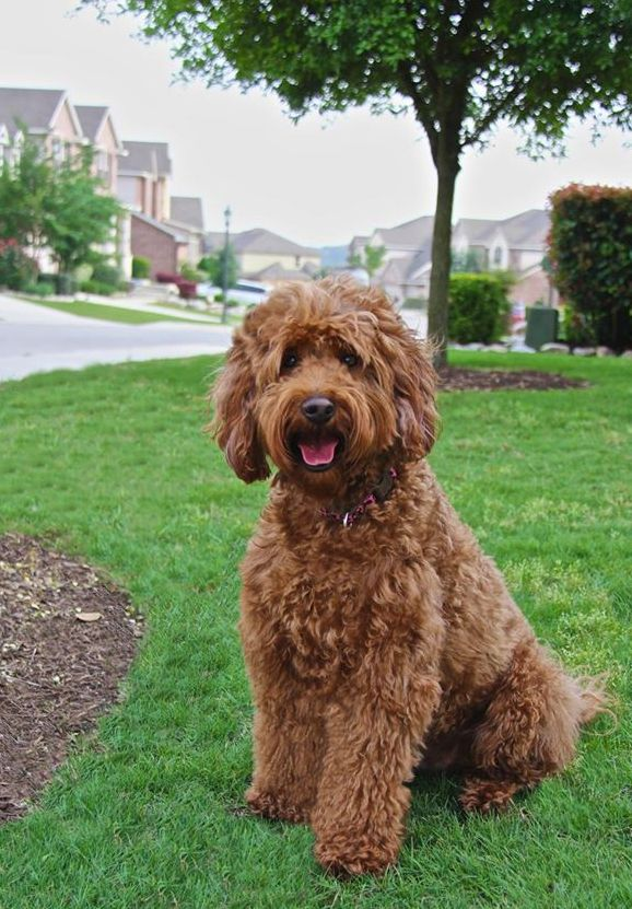 Teddybear Goldendoodle temperaments through the first year and up. Great info!