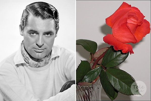 Кэри Грант и роза, названная его именем Фото: East News, carygrant.net Первым мужчиной, именем которого назван цветок, стал англо-американский актер Cary Grant . Цветоводы вывели розу на длинном стебле необычной красно-оранжевой окраски. Когда цветок раскрывается полностью, его размер может достигать величины сжатого мужского кулака. Единственным недостатком этого цветка цветоводы считают длинные и очень колючие шипы, поэтому ухаживать за ними рекомендуется в кожаных перчатках.