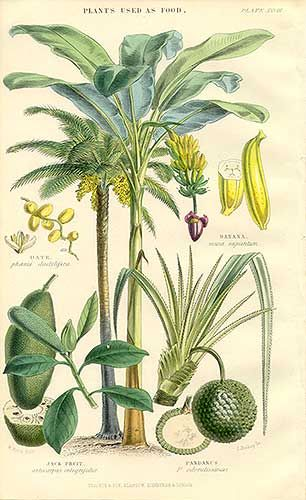 vintage hand colored botanical engraving by William Rhind (1860s)