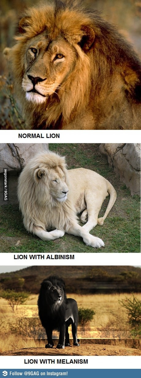 Normal, Albino and Melanistic Lion - http://www.funterest.fr/normal-albino-and-melanistic-lion.htm