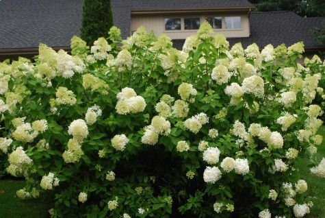 Limelight hydrangeas...this article contains valuable information about pruning hydrangeas.