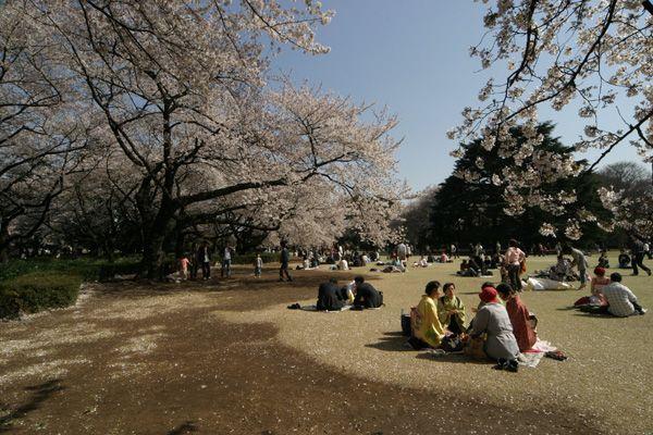 Planejando uma viagem para o Japão (foto das cerejeiras em shinjuku gyoen)