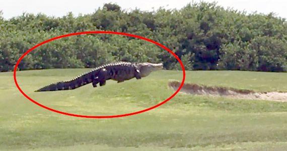 Caiman gigante registrado en campo de golf, sí de golf!