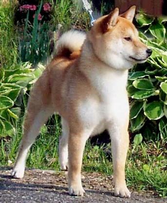 Hi-Jinx Shiba Inu breeder