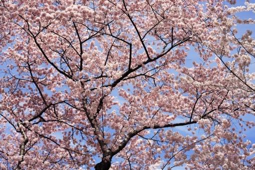 Blooming Cherry Tree - Fototapeter & Tapeter - Photowall
