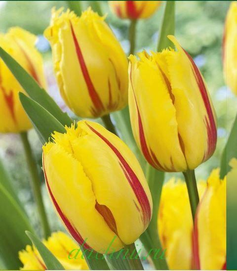 Тюльпан Фламенко бахромчатый, 3 шт.