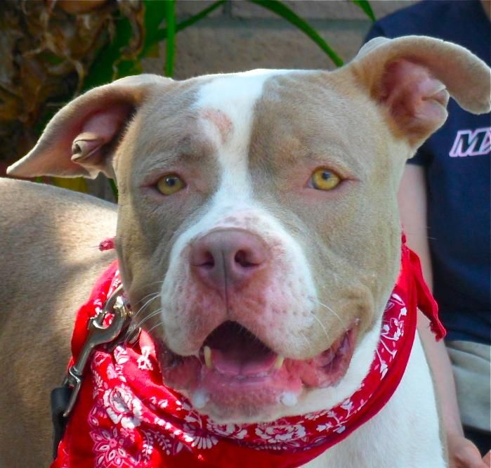 the characteristics of the pit bull dog breed Learn all about the bully breed in this article from animal planet x especially pit bull breeds like the and a bully breed dog's image appeared on pro.