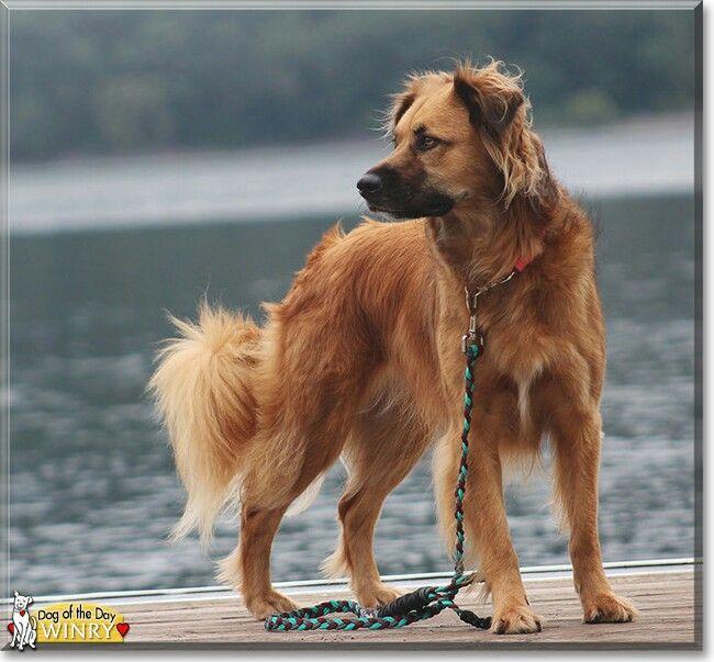 Border Collie Golden Retriever Mix Named Wiry Hybrid Dogs Dog