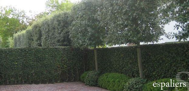 Groenblijvende leibomen (Steeneik): Een idee om het zicht van de buren te verminderen.