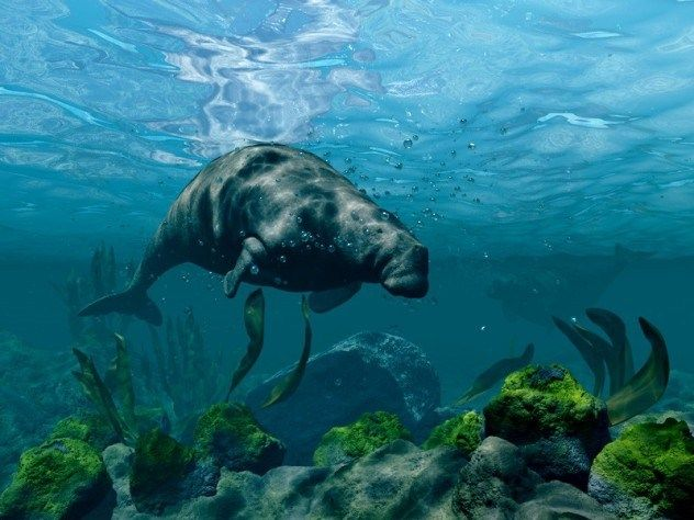 Steller's Sea Cow   Steller's Sea Cow