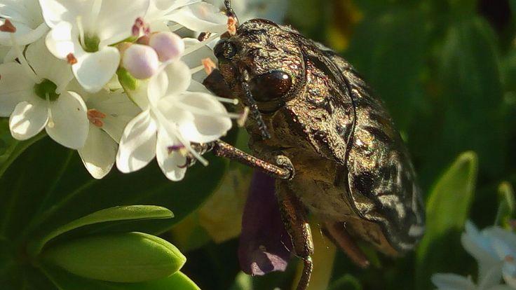 Krásné Měďák (Chalcophora mariana) Místo: na naší zahradě