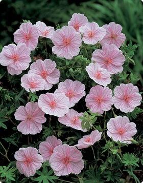 """hardy geranium sanguinem 'striatum' - 8-10"""""""
