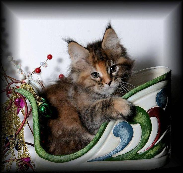 Registered cattery that breeds high quality Maine Coons and Bengals. Health guarantee and champion lines
